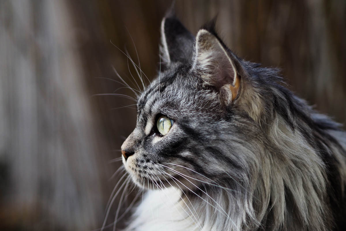 Vitamin D toxicity in cats