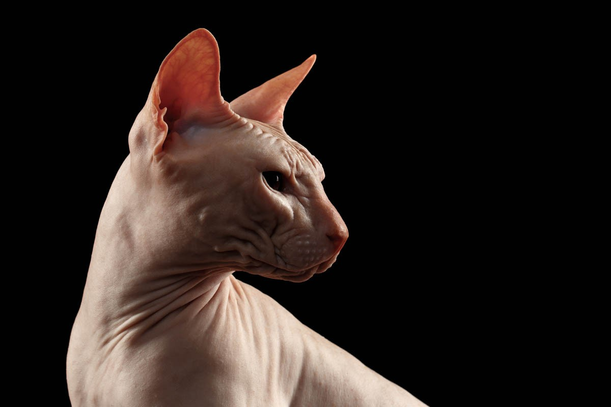 White sphynx cat