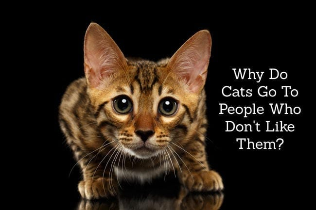 Why do cats go to people who don't like them?