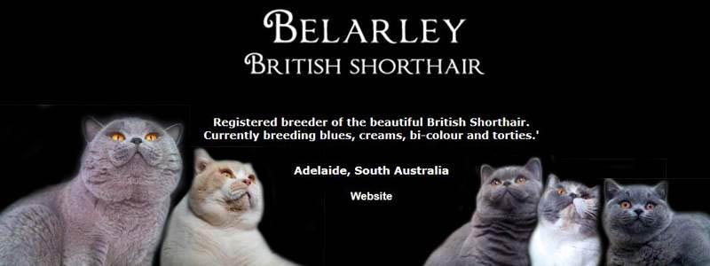 Belarley British Shorthairs