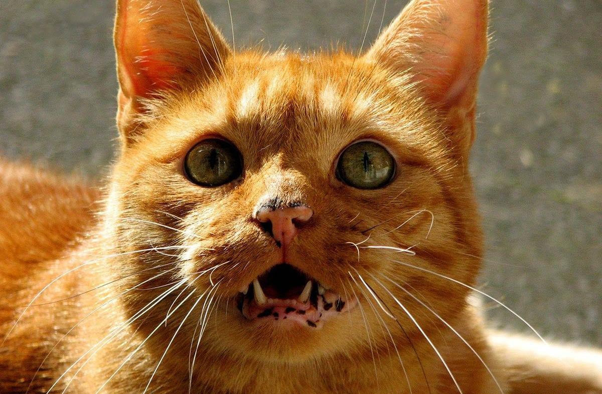 Black spots on cat gums