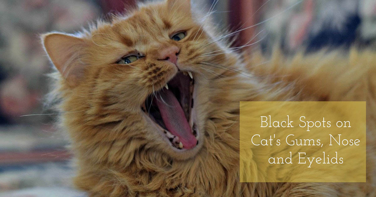 Black spots on cat gums, nose and eyelids