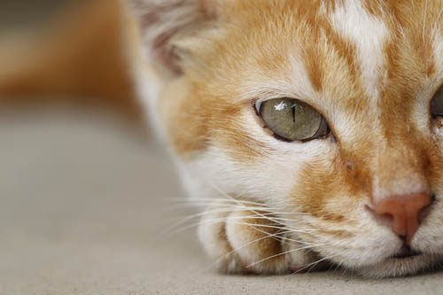Black spots on the eyerims of a ginger and white cat