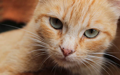 Black spots on the nose and eye rims of a ginger cat