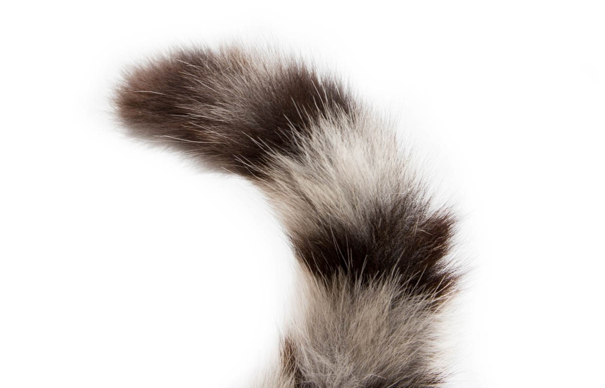 Broken tail in cats