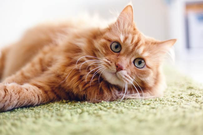 Cat dander
