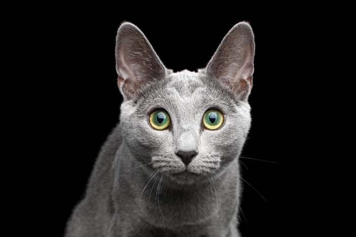 Central heterochromia in a grey cat