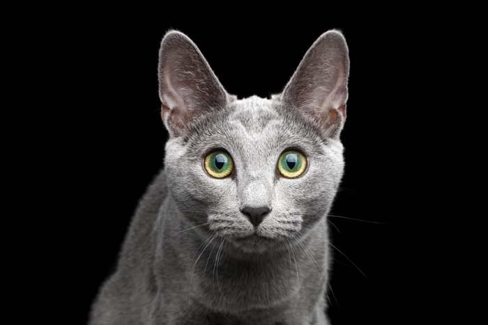 Central heterochromia in a grey cat