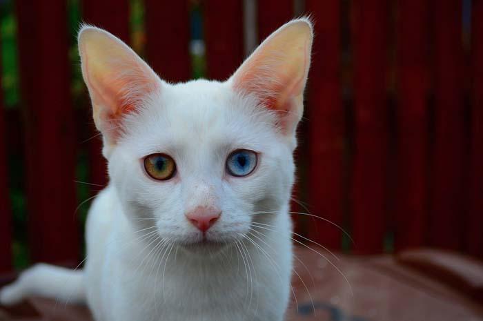 Complete heterochromia in white cat