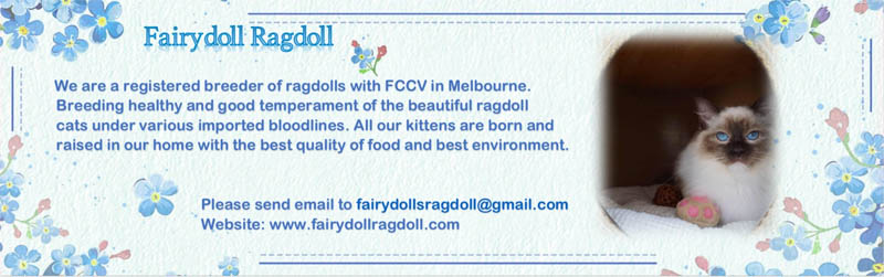 Fairydoll Ragdolls