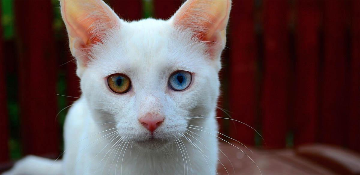 White cat with complete heterochromia