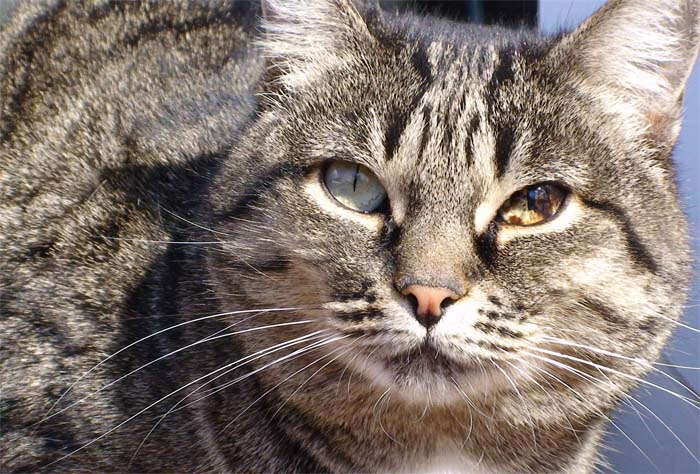 Brown spots (iris melanosis) in the eye of a domestic cat