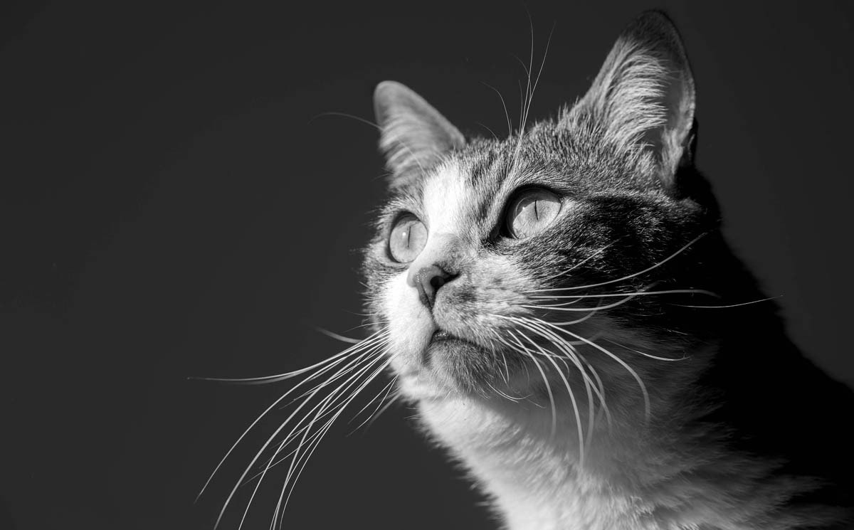 What is cat dander?