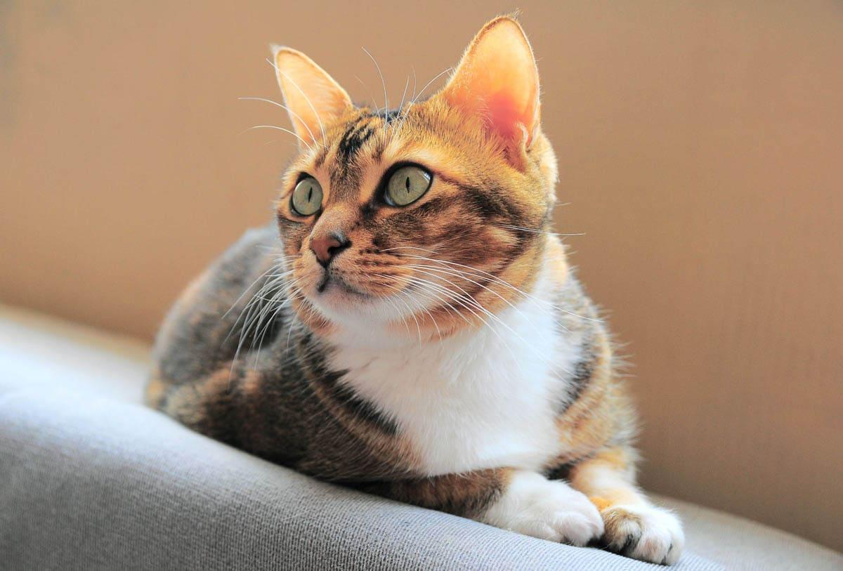 Disseminated intravascular coagulation in cats