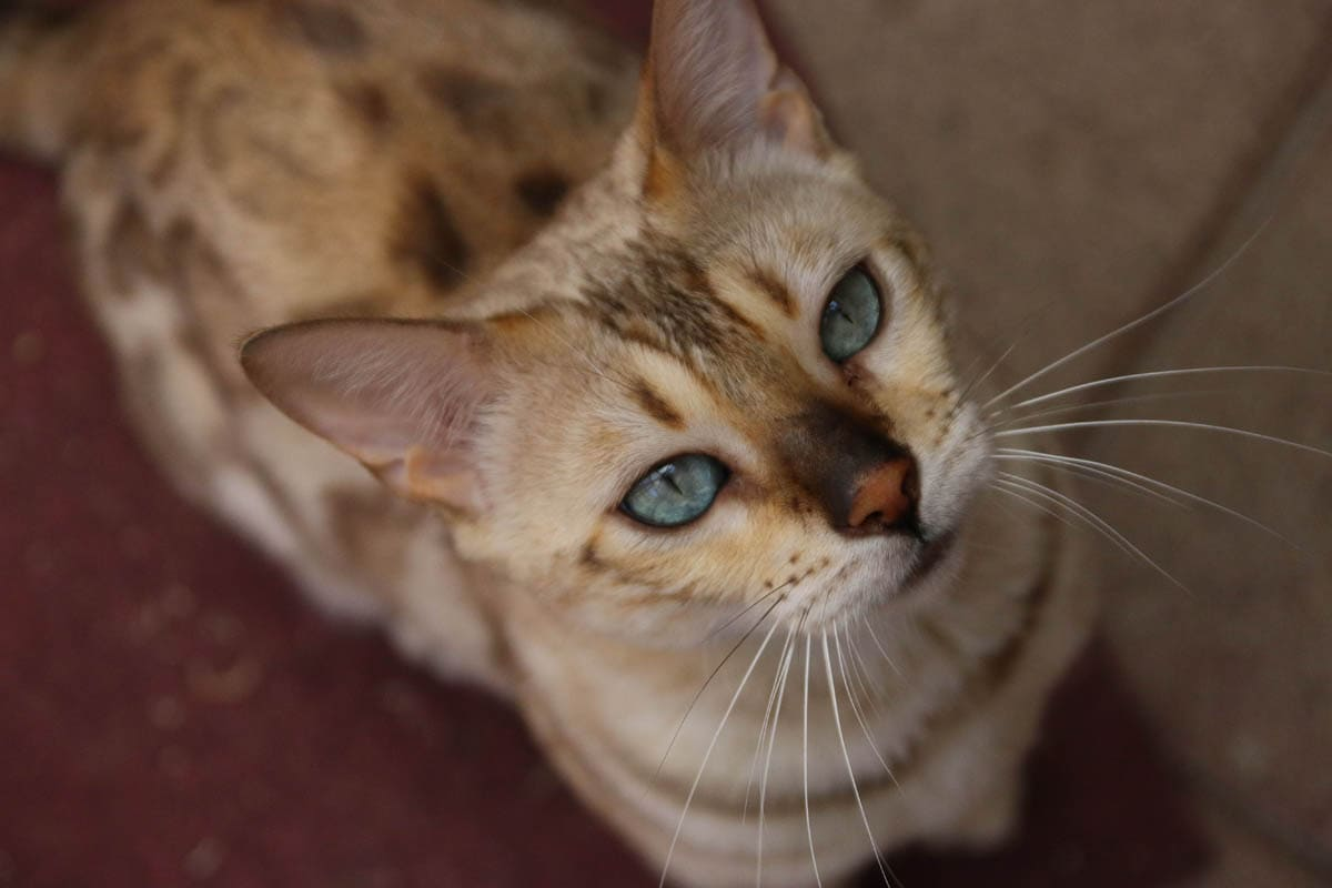 Anaplasmosis in cats