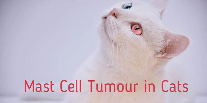 Mast cell tumour in cats