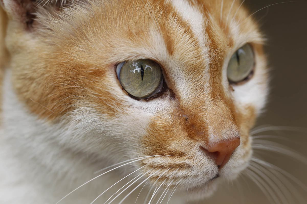 Mast cell tumours in cats
