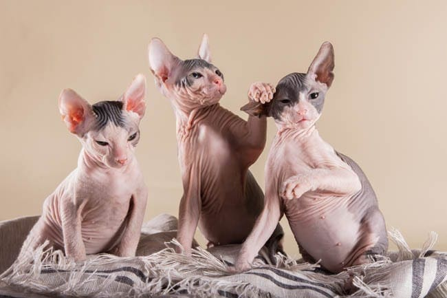 Three Sphynx kittens