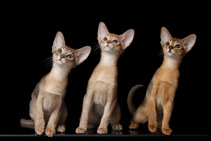 Three Abyssinian kittens