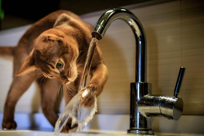 Abyssinian cat playing with water