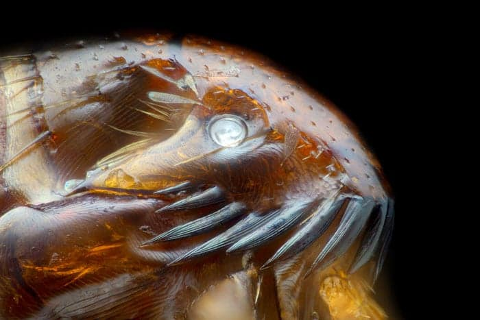 Close up of a cat flea