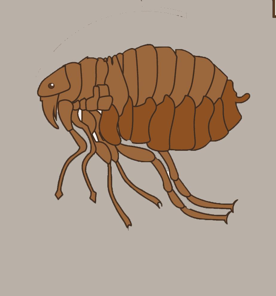Adult flea