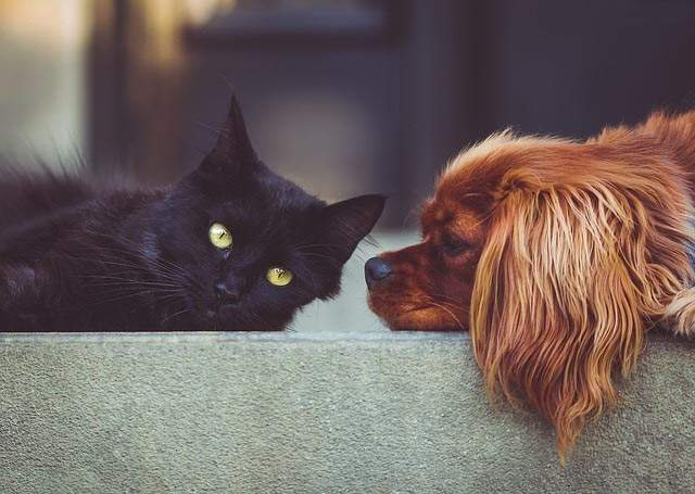 Cat Friendly Dog Breeds