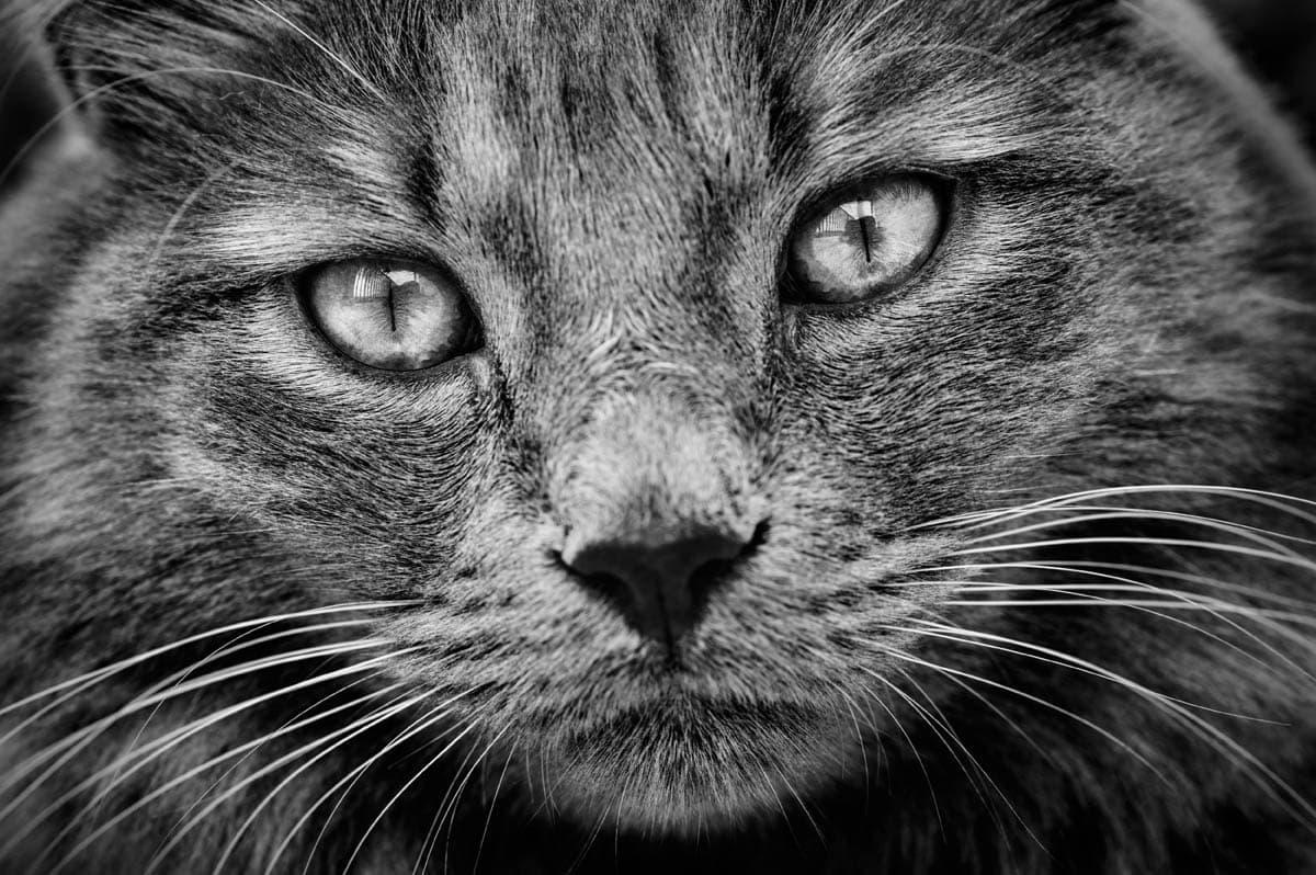 Insulinoma in cats