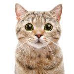 Key-Gaskell Syndrome (Feline Dysautonomia)