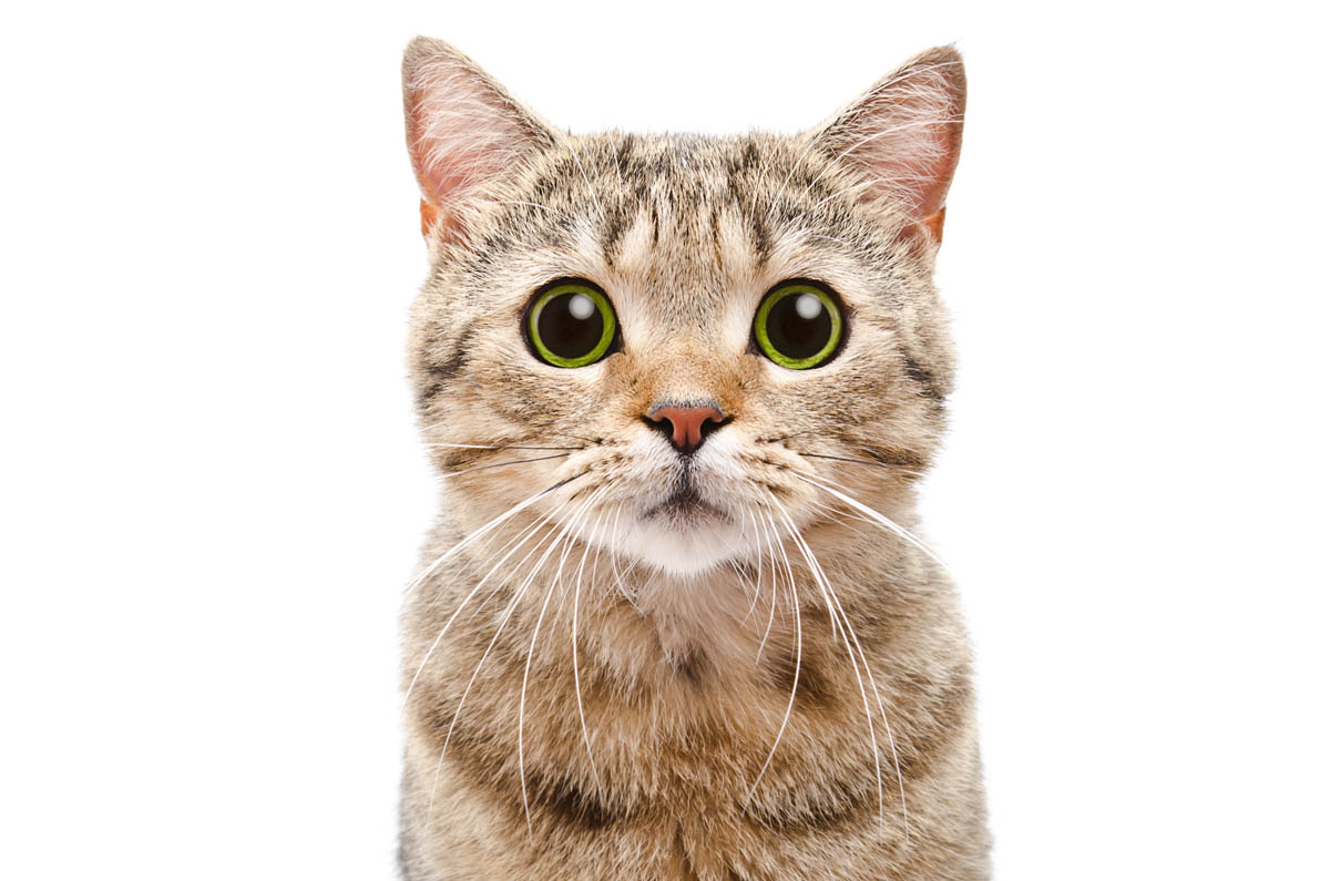 Key gaskell syndrome in cats