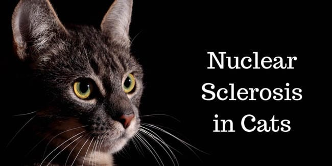 Nuclear sclerosis in cats