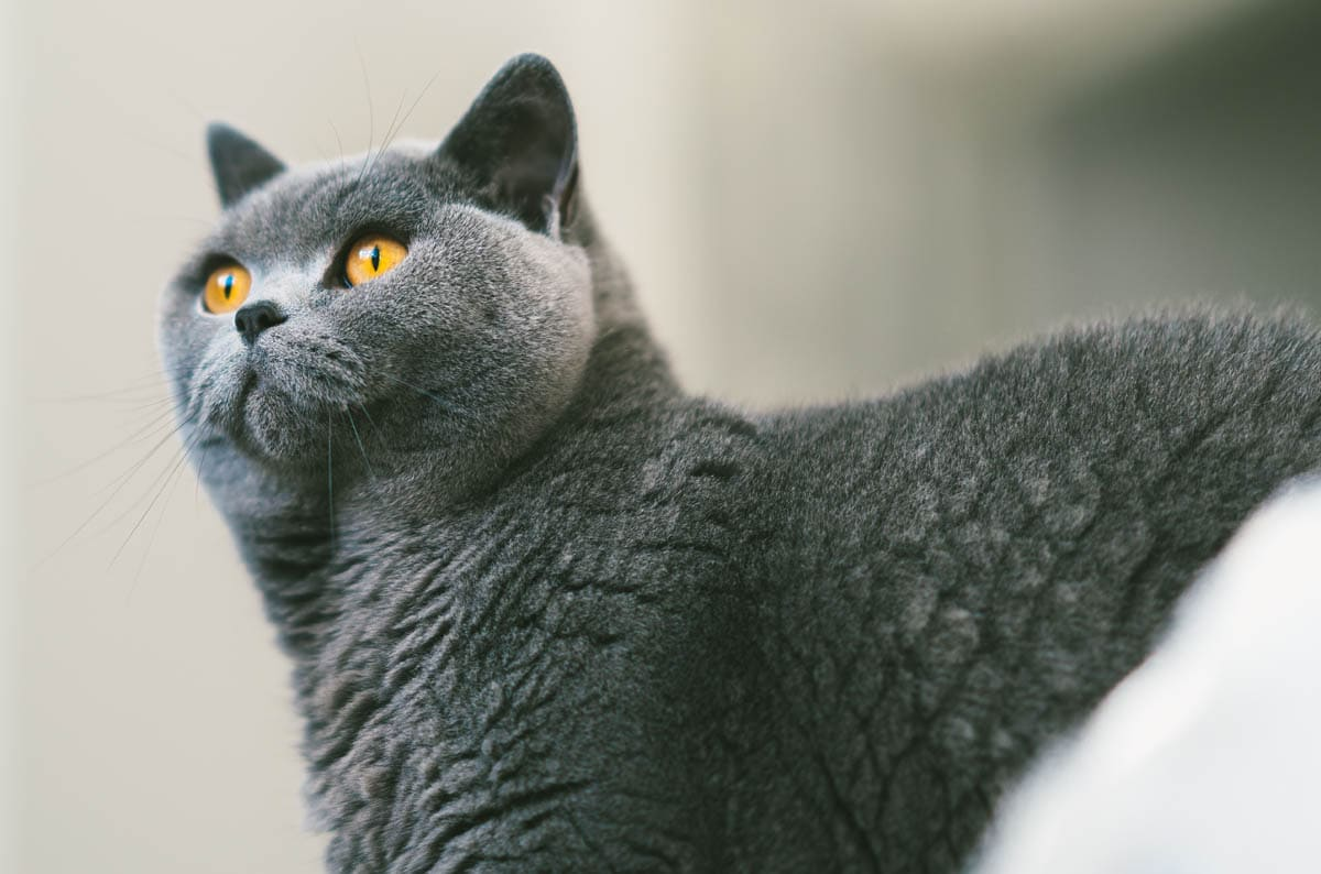 Spondylosis in cats
