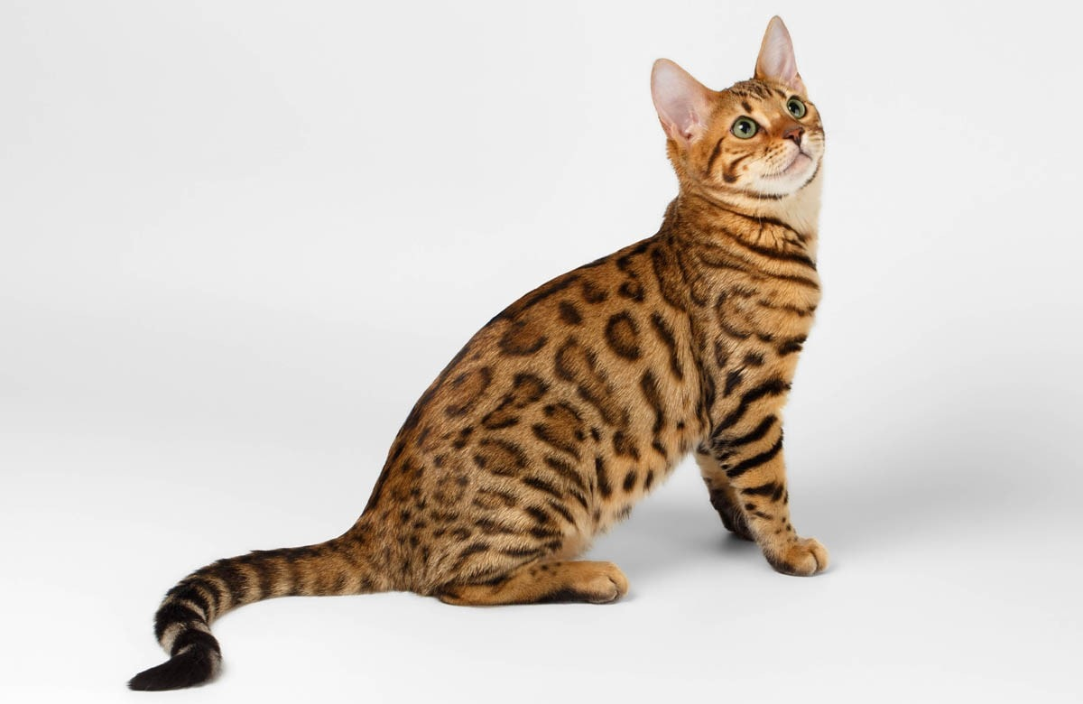 Why are purebred cats so expensive?