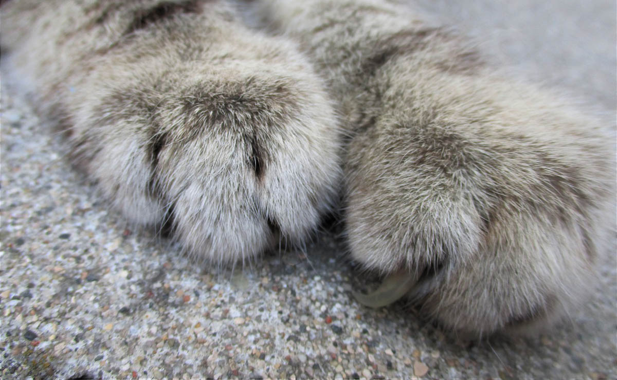 Claw and nailbed infection in cats