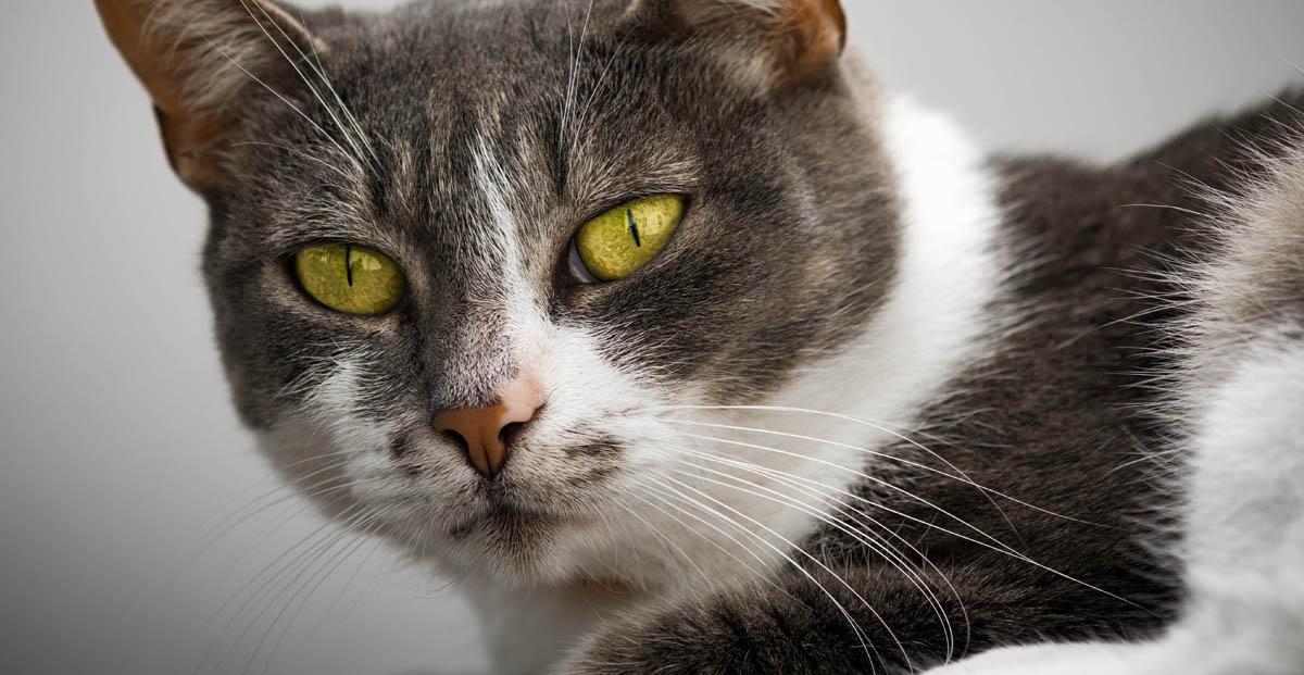 Hemangiosarcoma in cats