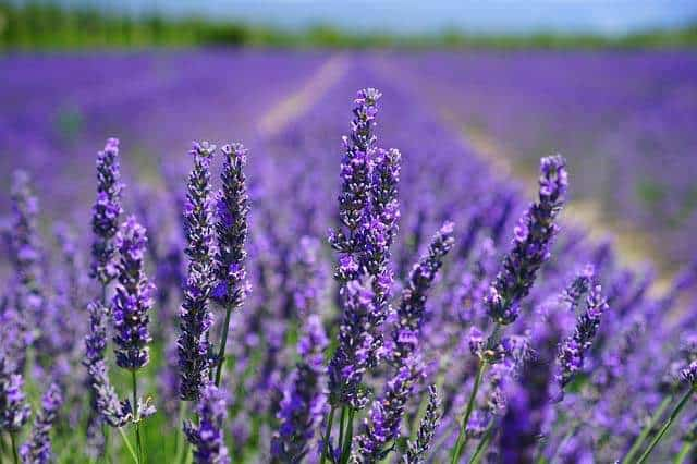 lavendar toxicity in cats