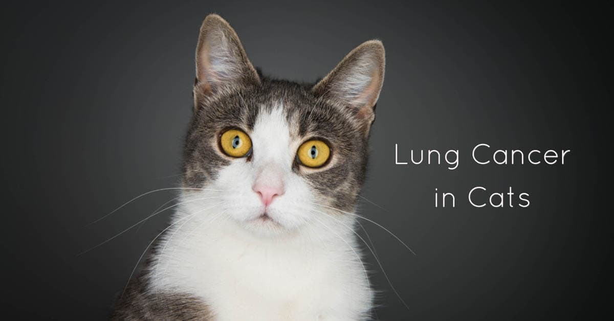 Lung Cancer in Cats