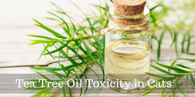 Tea tree oil toxicity in cats