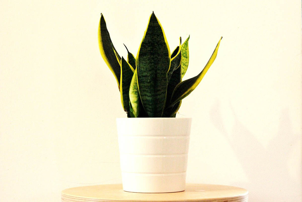 Sanseviera (snake plant)