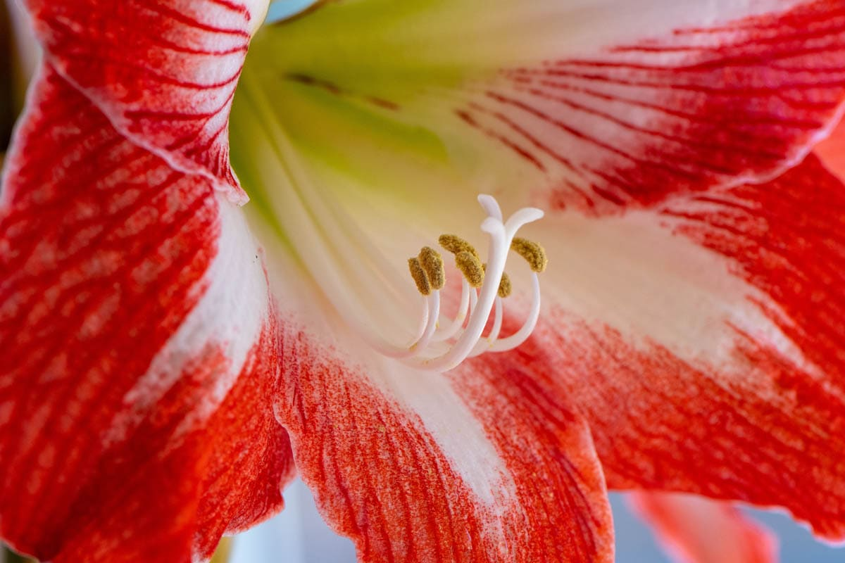 Beladonna lily