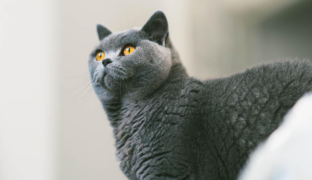 Chronic diarrhea in cats