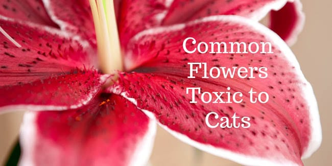 Common flowers toxic to cats