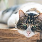 Fecal Transplant For Cats