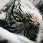 Feline Zoonosis (Infections You Can Catch From Cats)
