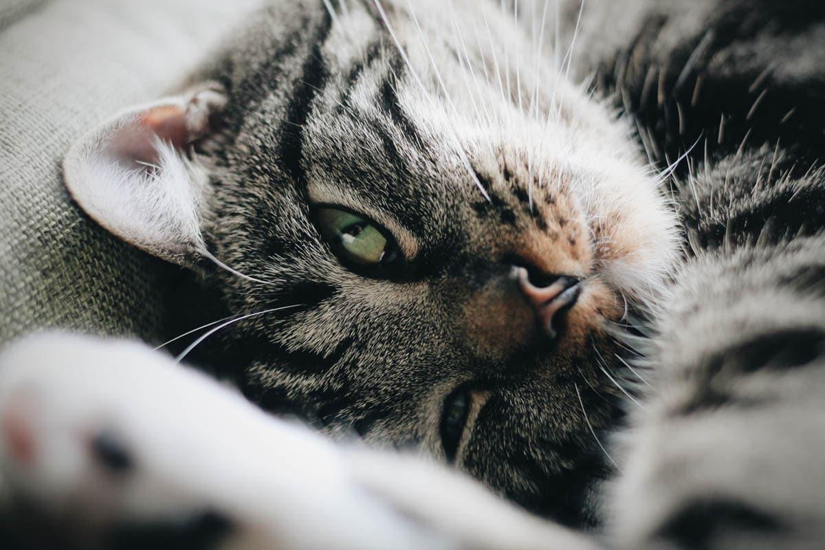 Feline zoonosis