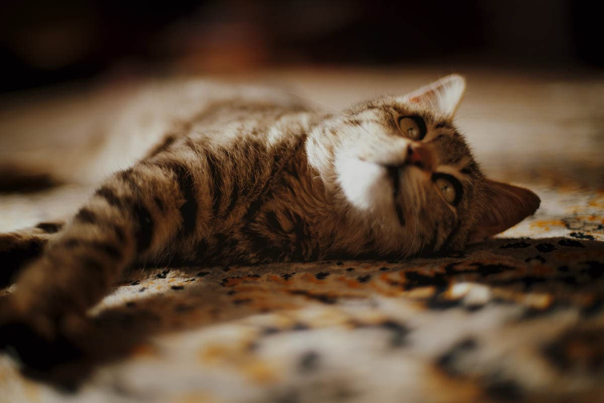 Immunosuppressive therapy for cats