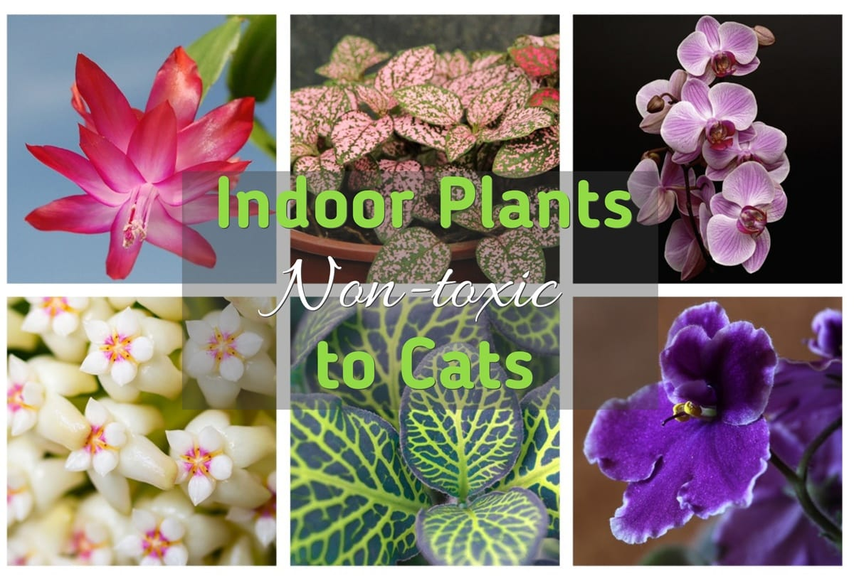 Indoor (House) Plants Non-Toxic to Cats