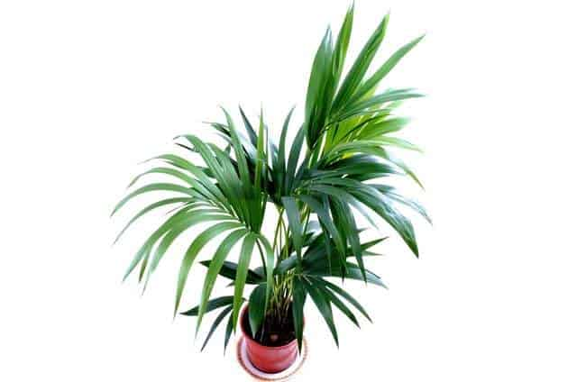 Kentia palm non-toxic to cats