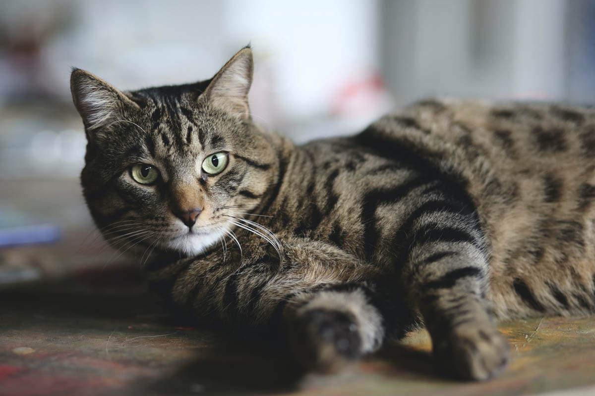 Storage mite allergy in cats