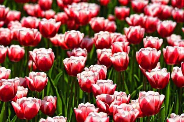 Tulips toxic to cats
